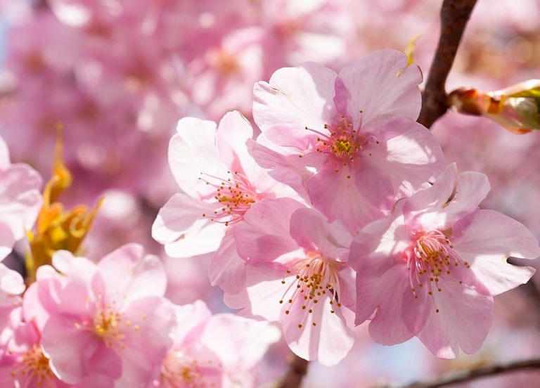 Nước tắm hoa đào được hàng loạt mỹ nhân, quý phi ưa chuộng